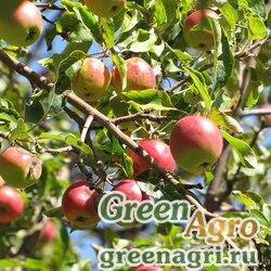 Яблоня Сиверса (Malus sieversii) 20 гр.