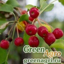 Яблоня ягодная (Malus baccata) 20 гр.