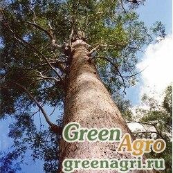 Эвкалипт клобучковый (Eucalyptus pilularis) 5 гр.