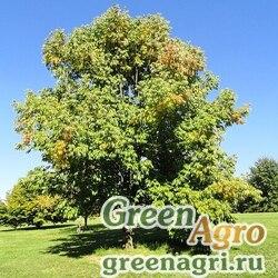 Ясень американский (Fraxinus americana) 30 гр.