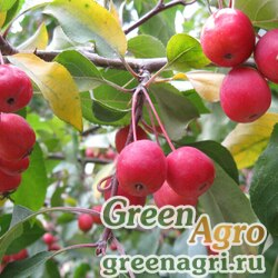 Яблоня сливолистная (Malus prunifolia) 30 гр.