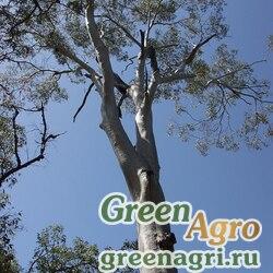 Эвкалипт лимонный (Eucalyptus citriodora) 5 гр.