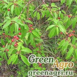 Черемуха пенсильванская (Prunus pensylvanica) 20 гр.