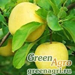 Яблоня кавказская (Malus caucasica) 25 гр.
