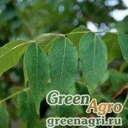 Ясень четырехгранный (Fraxinus quadrangulata) 10 гр.