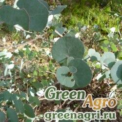 Эвкалипт Бриджеса (Eucalyptus bridgesiana) 3 гр.