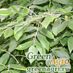 Ясень широколистный (Fraxinus latifolia) 20 гр.