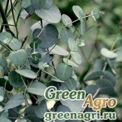 "Эвкалипт Гунна (Eucalyptus gunni) ""Silver Drop"" 0,5 гр."