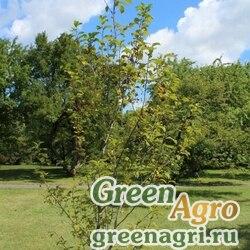 Черемуха виргинская (Prunus virginiana) 60 гр.