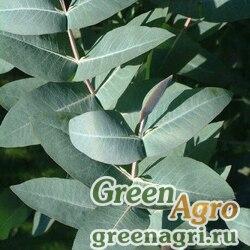 Эвкалипт блестящий (Eucalyptus nitens) 0,2 гр.