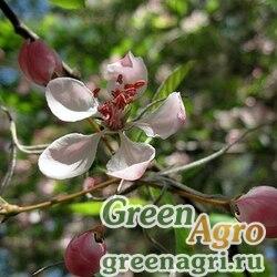 Яблоня узколистная (Malus angustifolia) 5 гр.