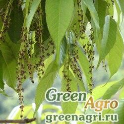 Ясень мелкоцветковый (Fraxinus micrantha) 130 гр.