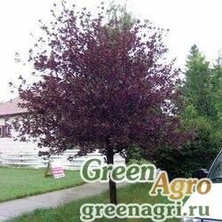 """Черемуха виргинская (Prunus virginiana) """"Schubert"""" 30 гр."""