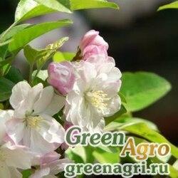 Яблоня малая (Malus micromalus) 25 гр.