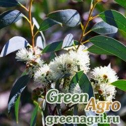Эвкалипт шаровидный (Eucalyptus globulus) 6 гр.