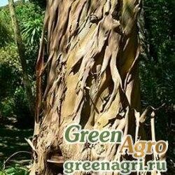 Эвкалипт полумелкозубчатый (Eucalyptus subcrenulata) 2 гр.