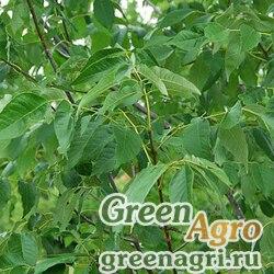Ясень китайский (Fraxinus chinensis) 30 гр.