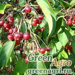 Яблоня хубейская (Malus hupehensis) 20 гр.
