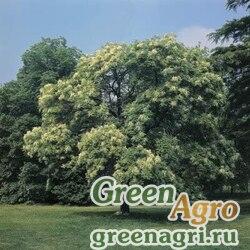 Ясень манновый (Fraxinus ornus) 200 гр.