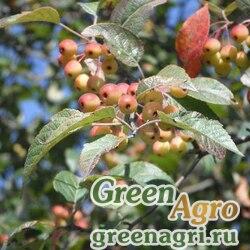 Яблоня бурая (Malus fusca) 2 гр.