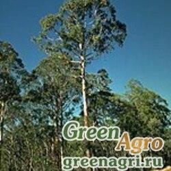 Эвкалипт (Eucalyptus delegatensis) 5 гр.