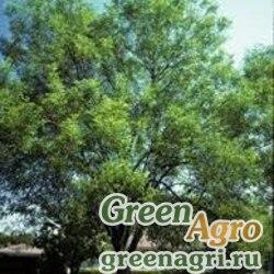Ясень бархатный (Fraxinus velutina) 20 гр.