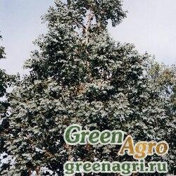 Эвкалипт сердцевидный (Eucalyptus cordata) 3 гр.