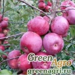 Яблоня гирканская (Malus hyrcana) 20 гр.