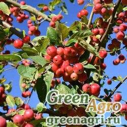 Яблоня мощная (Malus robusta) 4 гр.