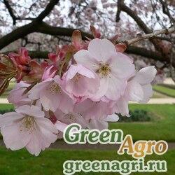 Черемуха мелкопильчатая произвольная (Prunus serrulata var. spontanea) 10 гр.