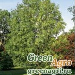 Ясень узколистный (Fraxinus angustifolia) 270 гр.