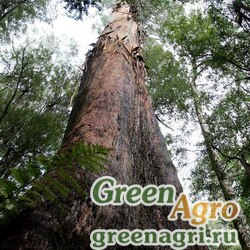 Эвкалипт царственный (Eucalyptus regnans) 2 гр.