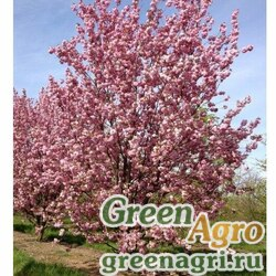 Черемуха мелкопильчатая (Prunus serrulata) 15 гр.