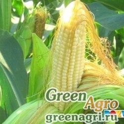 Семена Кукуруза, СИ Феномен (Форс Зеа), 1 п.е., Syngenta