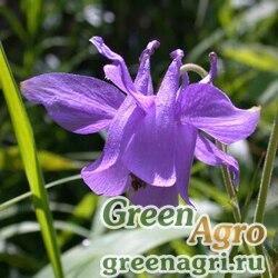 Скабиоза темно-пурпурная Вайт  (упак-50 гр.)