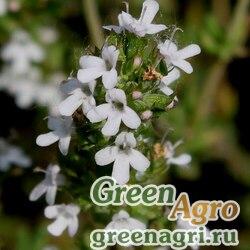 Тимьян обыкновенный (Thymus vulgaris) multi-pelleted Нов. 1000 шт.