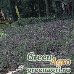 "Лаванда узколистная (Lavandula angustifolia) ""Munstead Variety"" (Lavender blue flowers) apex 1000 шт."