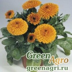 "Календула лекарственная (Calendula officinalis) ""Gitana"" (orange) raw 1000 шт."