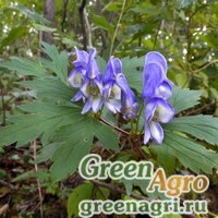 Аконит пазушноцветковый (Aconitum axilliflorum) 3,5 гр.