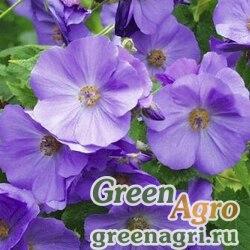 Абутилон виноградолистный (Abutilon vitifolium) 1 гр.