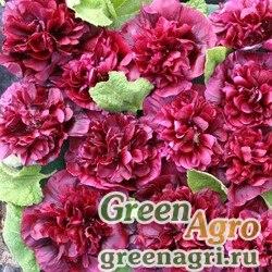 Шток-роза Блекберри 250шт