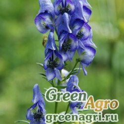 Аконит носатый (Aconitum nasutum) 3,3 гр.