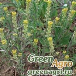 Алиссум/Бурачок пустынный (Alyssum desertorum) 2,5 гр.