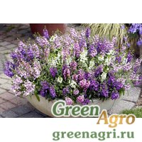 "Семена Ангелония узколистная (Angelonia angustifolia) ""Serena F1"" (blue) Pelleted 1000 шт."