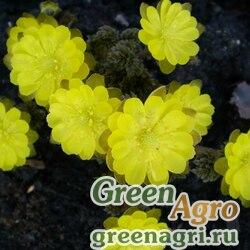 Адонис амурский (Adonis amurensis) 25 гр.