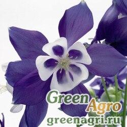 "Аквилегия гибридная (Aquilegia hybrida) ""Spring Magic"" (blue & white) raw 1000 шт."