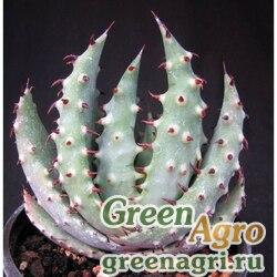 Алоэ шиповатое (Aloe aculeata) 500 шт.