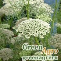 Семена Амми большой (Ammi majus) 55 гр.