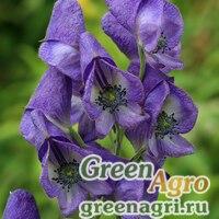 Аконит сахалинский (Aconitum sachalinense) 2 гр.