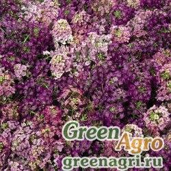 "Алиссум морской компактный (Lobularia maritima) ""Wonderland"" (citron) Multi-pelleted 1000 шт."